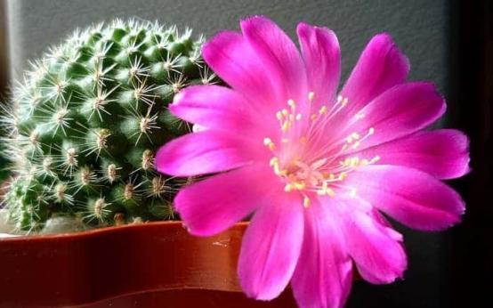 Лечебные свойства кактуса при псориазе