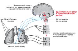 Принцип воздухообмена в организме