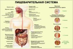 Схема пищеварительной системы