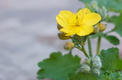 цветок чистотела